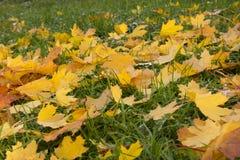O parque do outono, nas folhas de bordo do caído na grama verde encontra-se h imagens de stock royalty free