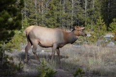 O parque nacional de Yellowstone oferece a visitantes um a pletora de animais selvagens em um ajuste natural Fotografia de Stock