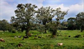 O parque nacional nas Honduras, América Central, viagem das férias, árvores verdes ajardina com as vacas no primeiro plano Fotografia de Stock Royalty Free
