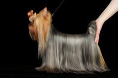 Yorkshire terrier dos demostrates do participante da exposição de cães imagem de stock
