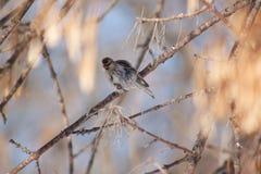 O passarinho roxo senta-se em um ramo de árvore contra um fundo do céu azul Fotografia de Stock