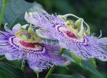 O Passiflora ou a paixão florescem, crescendo na videira Foto de Stock