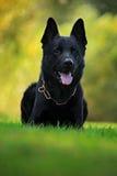 O pastor alemão Dog, é uma raça do cão de funcionamento grande-feito sob medida que origine em Alemanha, sentando-se na grama ver Imagens de Stock