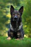 O pastor alemão Dog, é uma raça do cão de funcionamento grande-feito sob medida que origine em Alemanha, sentando-se na grama ver Imagens de Stock Royalty Free
