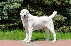 O pastor asiático central Dog olha de lado Fotografia de Stock Royalty Free