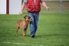 O pastor de Malinois do belga é açaimado na competição de esporte canina para a caminhada ao pé Imagens de Stock Royalty Free