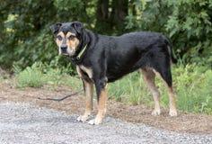 O pastor de Rottweiler misturou o cão da raça fora na trela imagens de stock