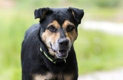 O pastor de Rottweiler misturou o cão da raça fora na trela foto de stock royalty free