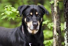 O pastor de Rottweiler misturou o cão da raça, fotografia da adoção do salvamento do animal de estimação fotografia de stock royalty free