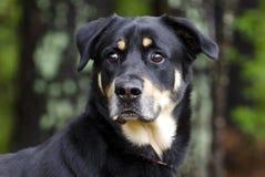 O pastor de Rottweiler misturou o cão da raça, fotografia da adoção do salvamento do animal de estimação imagem de stock