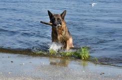 O pastor europeu do leste da raça molhada do cão corre na costa da lagoa Fotografia de Stock Royalty Free