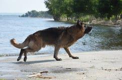 O pastor europeu do leste da raça molhada do cão corre na costa da lagoa Foto de Stock Royalty Free