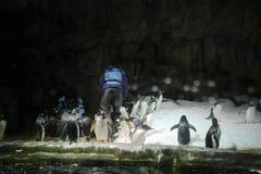 o patagonicus do Aptenodytes dos pinguins de rei Imagens de Stock