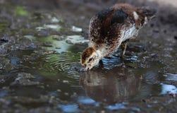O patinho bebe a água de uma poça Imagens de Stock