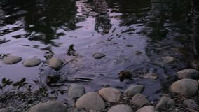O patinho nada rapidamente afastado na água video estoque