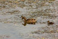 O pato é o nome comum de um número importante de pássaros de anseriform, geralmente migratório, pertencendo à família do Anatidae imagens de stock
