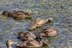 O pato é o nome comum de um número importante de pássaros de anseriform, geralmente migratório, pertencendo à família do Anatidae imagem de stock