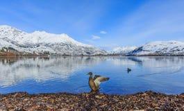 O pato agita-o fora é asas Fotos de Stock Royalty Free