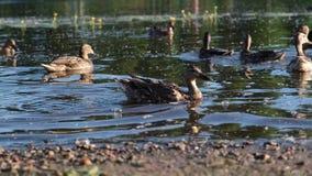 O pato anda ao longo da borda da água filme