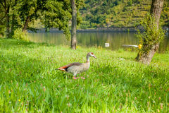 O pato anda ao longo do rio moselle germany Imagens de Stock Royalty Free