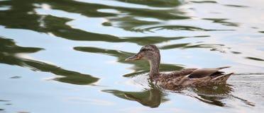 O pato colorido nada na água, rio imagens de stock royalty free