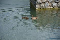 O pato da mãe Fotografia de Stock