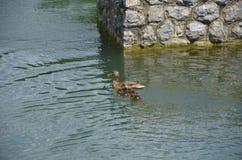 O pato da mãe Fotos de Stock Royalty Free
