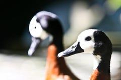 pato de assobio Branco-enfrentado Fotos de Stock Royalty Free