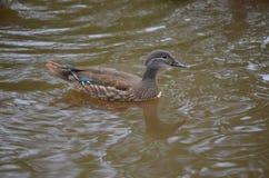 O pato de Duck Mandarin nada no lago imagens de stock royalty free