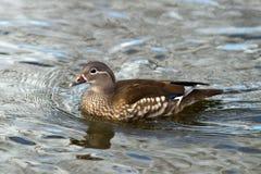 O pato de mandarino fêmea (galericulata do Aix) Fotos de Stock