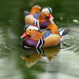 O pato de mandarino, galericulata do Aix, escolhe na água Fotos de Stock Royalty Free