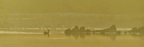 O pato em um dourado alisa a superfície de uma lagoa Imagem de Stock