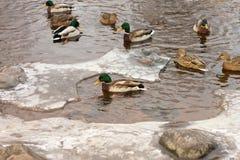 O pato está em uma pedra do granito fora da costa fotografia de stock