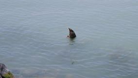 O pato está procurando o alimento, 4K, 50fps, QG de UHD filme