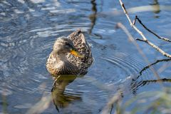 O pato fêmea flutua avante em uma lagoa rippling fotografia de stock