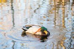 O pato flutua no lago Fotos de Stock Royalty Free
