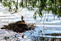 O pato grande do Podicipedidae senta-se em uma pedra, uma lagoa da cidade no parque, Fotografia de Stock Royalty Free