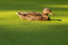 O pato nada em uma lagoa coberta com a lentilha-d'água Pato na lagoa coberto de vegetação imagem de stock