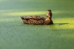 O pato nada em uma lagoa coberta com a lentilha-d'água Pato na lagoa coberto de vegetação fotografia de stock royalty free