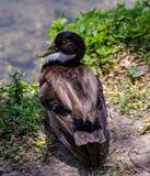 O pato ou o anitra, dos anas latinos são o nome comum de um número importante de pássaros de anseriform, geralmente migratório, b fotografia de stock royalty free