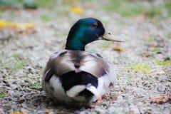 O pato ou o anitra, dos anas latinos são o nome comum de um número importante de pássaros de anseriform, geralmente migratório, b fotos de stock