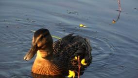 O pato põe seu bico sob a água à procura do alimento filme