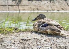 O pato perto da água Fotos de Stock Royalty Free