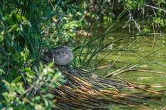 O pato que dorme em juncos aproxima a água imagem de stock