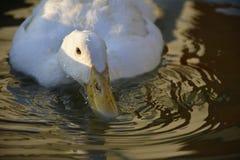 O pato que toma uma bebida da associação fotografia de stock