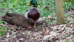 O pato selvagem vídeos de arquivo