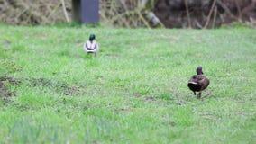 O pato selvagem filme