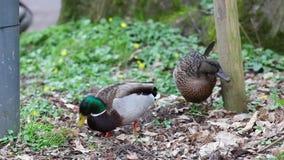 O pato selvagem video estoque