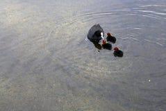 O pato selvagem alimenta-lhe patinhos em uma lagoa Foto de Stock