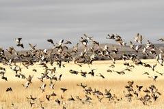 O pato selvagem ducks a migração na aterrissagem da queda em um campo de grão Fotos de Stock Royalty Free